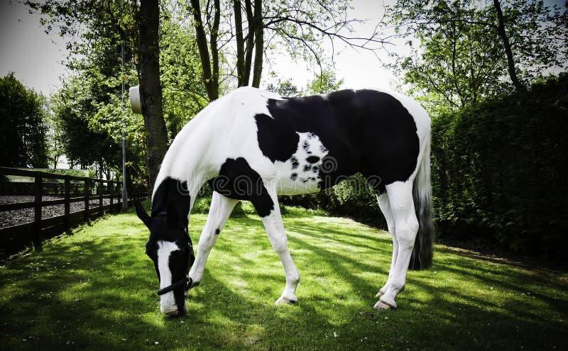 La vie heureuse de cheval en caverne du sud BRITANNIQUE images libres de droits