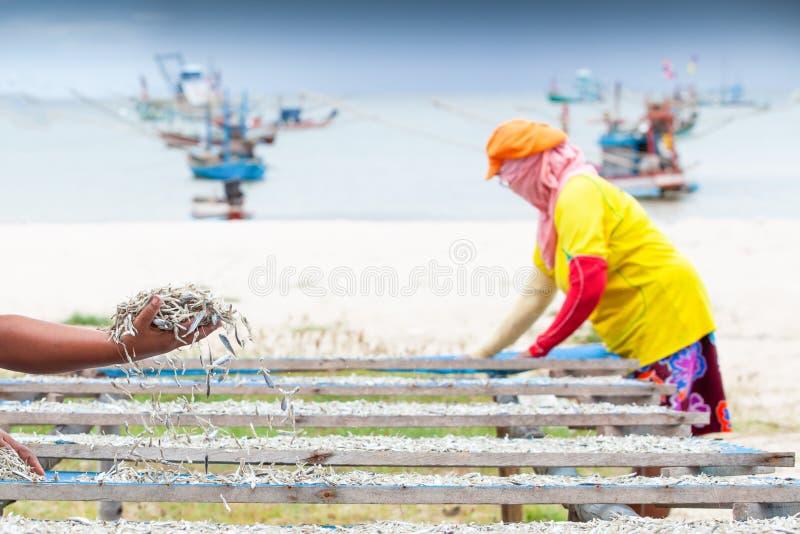 La vie simple, poissons thaïlandais de fixation de femme sur le filet pour sécher, port et milieux traditionnels de bateau de pêc photo stock