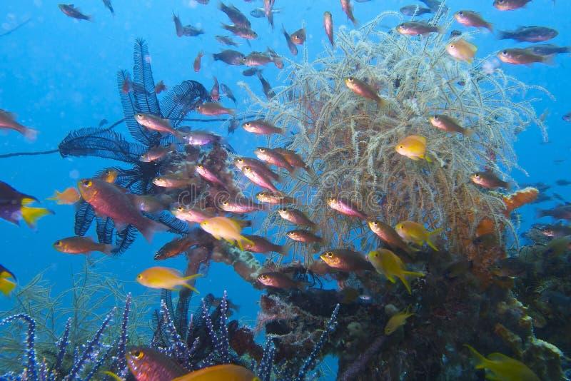 La vie tropicale de récif, baie de Sogod, Leyte, Philippines photographie stock