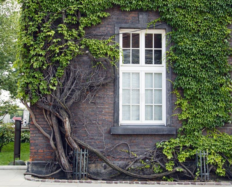 La vieille maison de brique avec de grandes belles fen?tres s'est enlac?e avec le lierre s'?levant vert dans le ch?teau de Wawel photos stock
