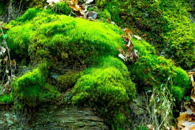 La vieille roche dans le bois mousse-élevé image stock