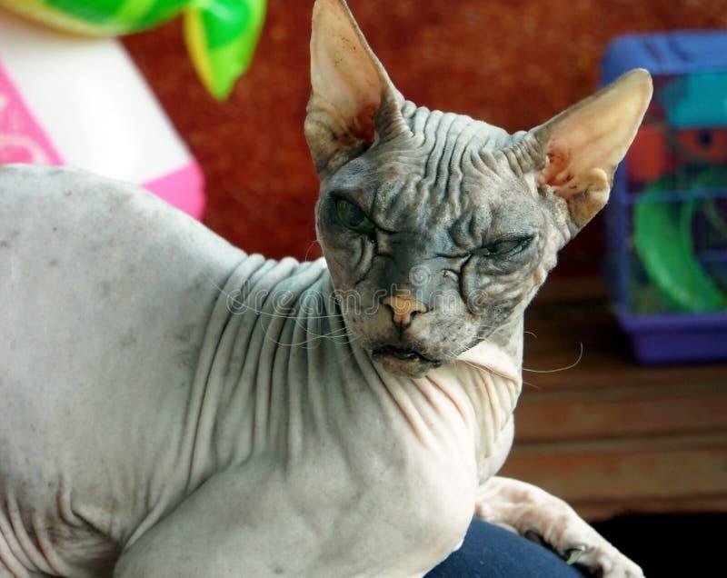 La vieja raza de pedigrí del gato pone la esfinge imagen de archivo