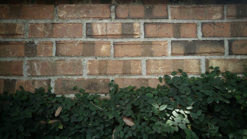 La vigne a couvert le mur image libre de droits