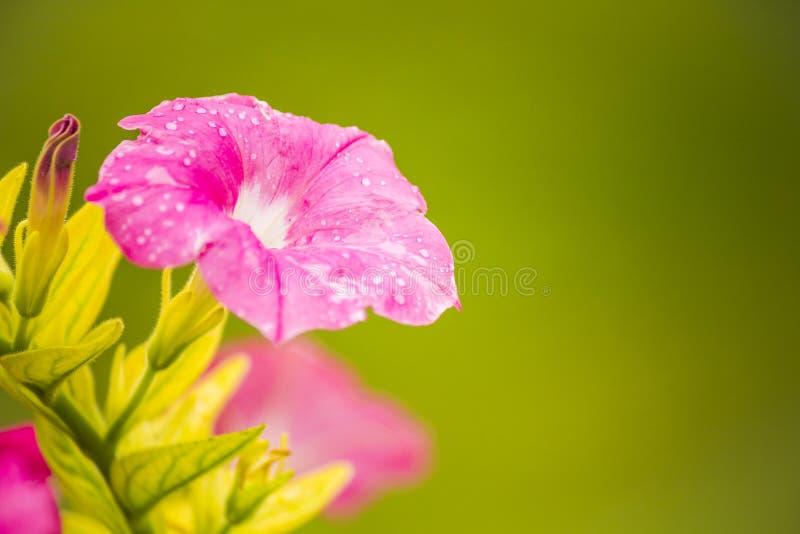 La vigne de trompette rose fleurit, des textures et des milieux photographie stock