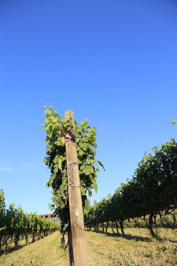 La vigne de vignoble rame avec le ciel bleu, une couverture parfaite de magazine ou le panneau d'affichage image stock