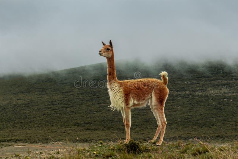 La vigogne isolée dans amarrent sous la brume grise images libres de droits