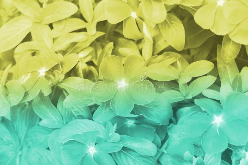 La vinca verde e gialla degli ambiti di provenienza di colore fiorisce la natura, fuoco molle di bei fiori con i filtri colorati fotografie stock libere da diritti