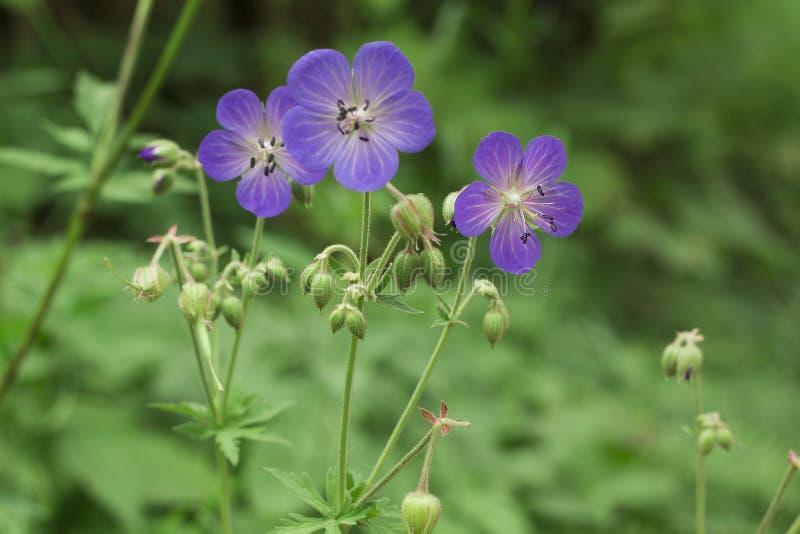 La viola fiorisce il pratense del geranio o il geranio del prato nel campo fotografia stock