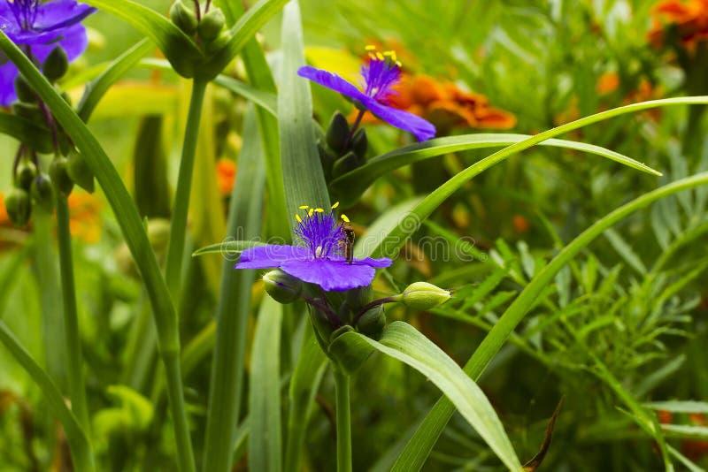 La viola fiorisce la tradescantia con Hoverfly nel giardino dell'estate fotografia stock
