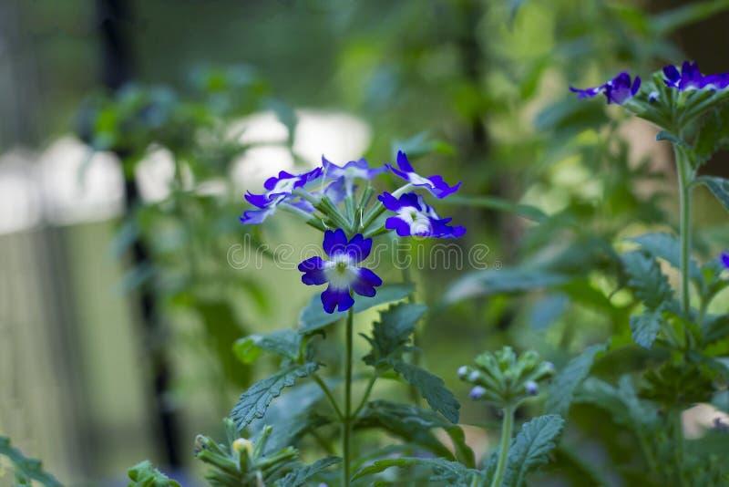 La viola fiorisce la verbena in giardino, vista laterale immagini stock libere da diritti