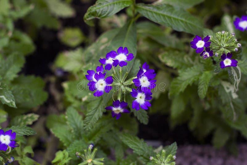 La viola fiorisce la verbena in giardino, vista superiore fotografia stock libera da diritti