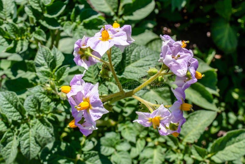 La viola ha sbiadito i fiori della patata di fioritura nel giardino fotografie stock libere da diritti
