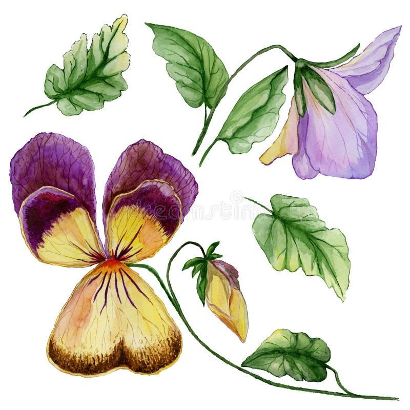 La viola porpora e gialla del bello insieme botanico fiorisce, germoglio e foglie Fiore viola variopinto e foglie verdi isolati illustrazione vettoriale