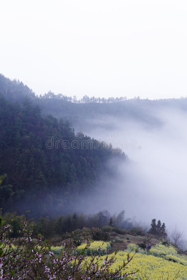La violación amarilla y el melocotón rosado florecen en la primavera en la ladera, cubierta de la niebla de la montaña imagenes de archivo