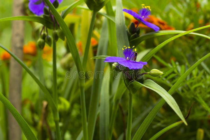La violette fleurit le Tradescantia avec Hoverfly dans le jardin d'été image libre de droits