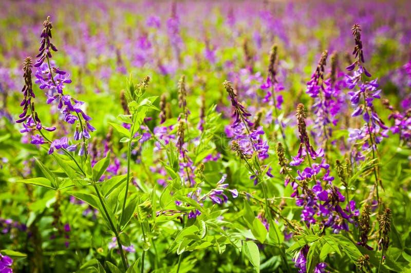 La violette fleurit une vesce d'oiseau photographie stock