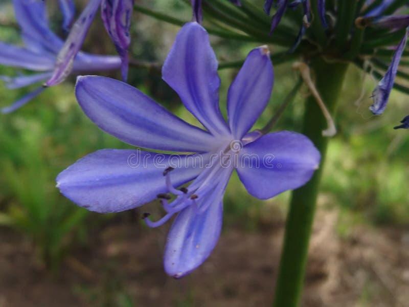 La violette la plus pure photo libre de droits