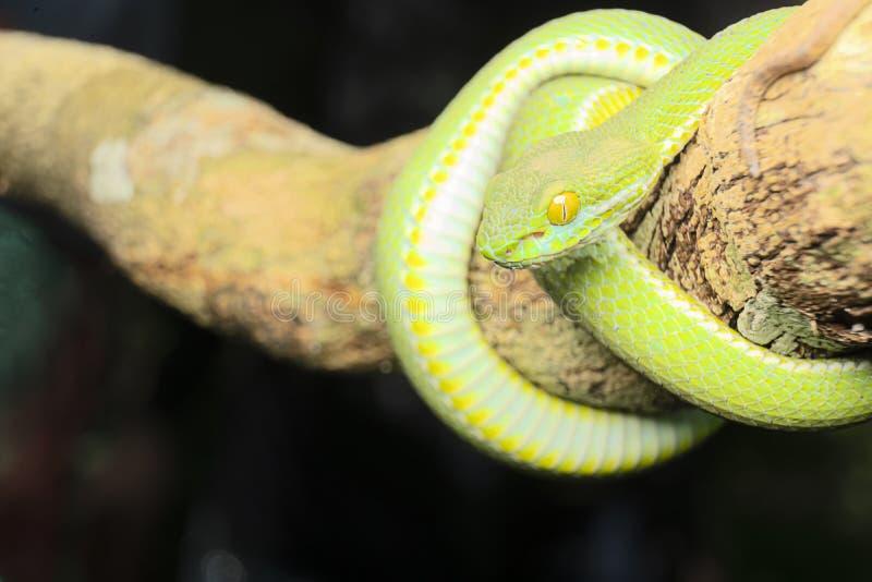La vipera è uno di serpenti più bei fotografie stock