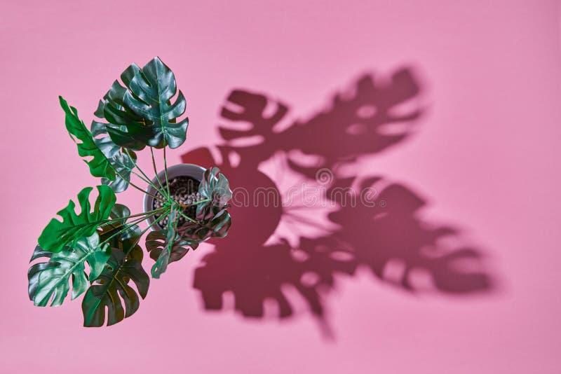 La visión superior tiró el Philodendron y sombras de la planta de Monstera de las hojas en un fondo rosado imagen de archivo