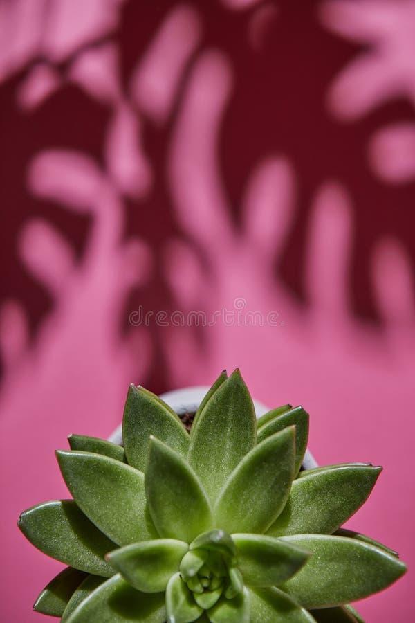 La visión superior tiró la planta suculenta Echeveria con las sombras del Philodendron de la planta de Monstera las hojas en un f imagen de archivo libre de regalías