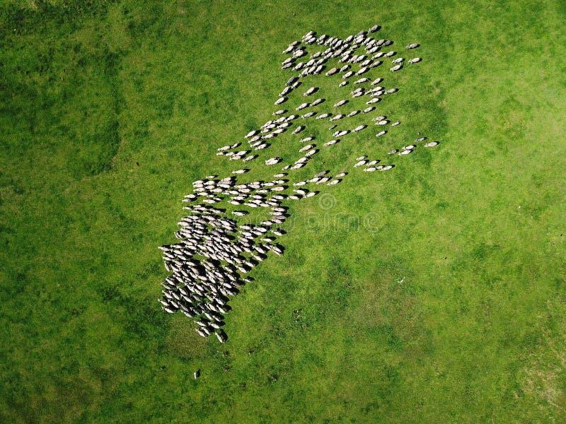 La vista aerea di pascolo delle pecore si affolla sul giacimento della molla immagine stock libera da diritti