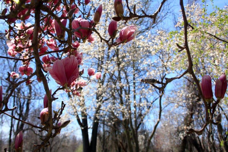 La vista da sotto un albero della magnolia di piattino sboccia con cielo blu immagine stock