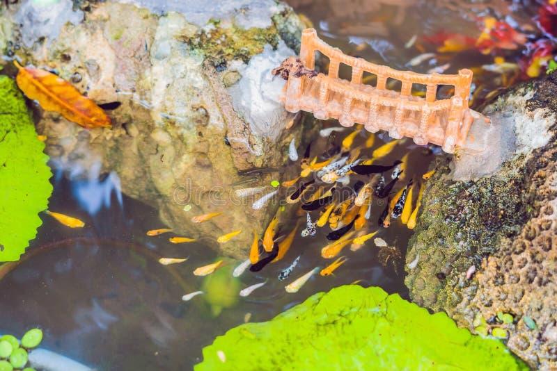 La vista de la charca china del jardín con koi multicolor de la carpa pesca foto de archivo