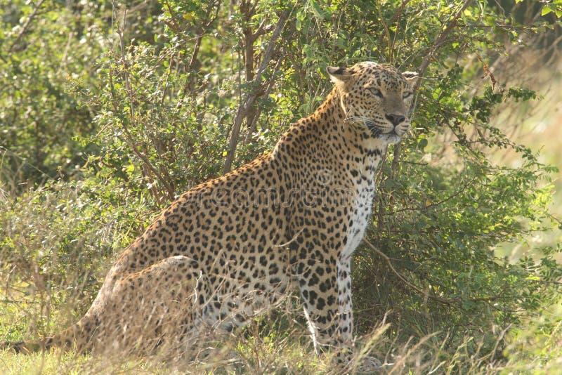 La vista de larga distancia, yendo adelante, es un leopardo experto del cazador él ` s un héroe único de la piel imagen de archivo libre de regalías