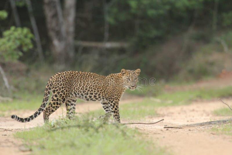 La vista de larga distancia, yendo adelante, es un leopardo experto del cazador él ` s un héroe único de la piel imagenes de archivo