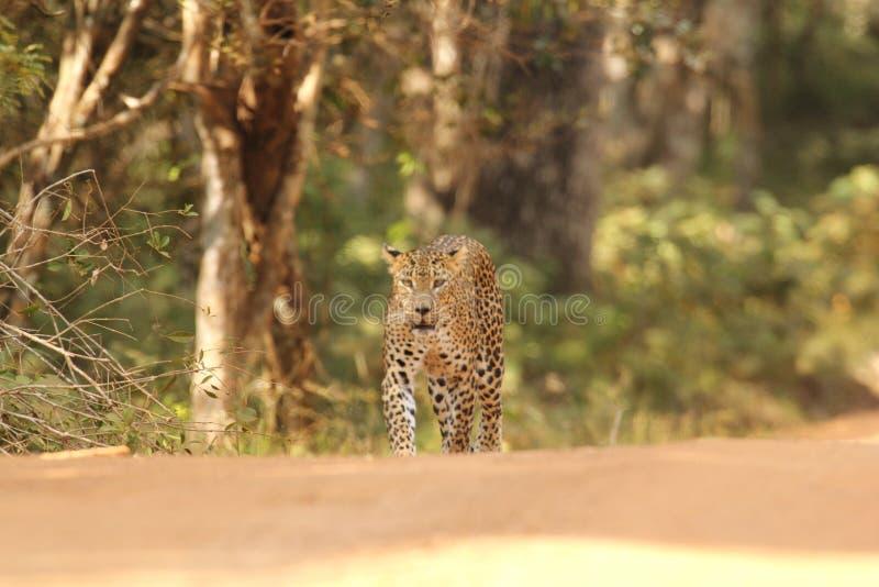 La vista de larga distancia, yendo adelante, es un leopardo experto del cazador él ` s un héroe único de la piel fotografía de archivo