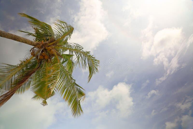 La vista del coco maduro da fruto en árbol de debajo Palmeras verdes en línea de la costa Nubes blancas del cielo asombroso y hor fotos de archivo