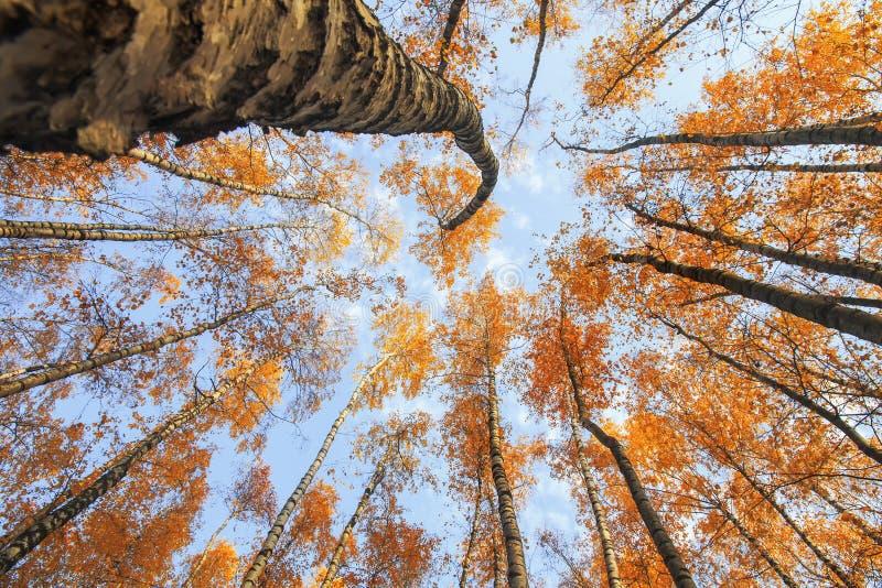 la vista del fondo del fondo delle cime degli alberi allunga al cielo blu con le foglie luminose gialle e rosse in immagine stock