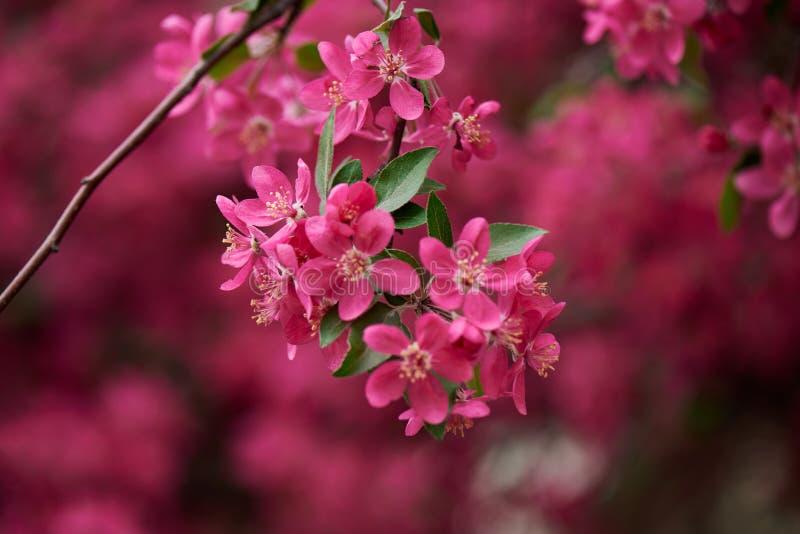 la vista del primo piano di bella mandorla rosa luminosa fiorisce sul ramo, fotografie stock libere da diritti