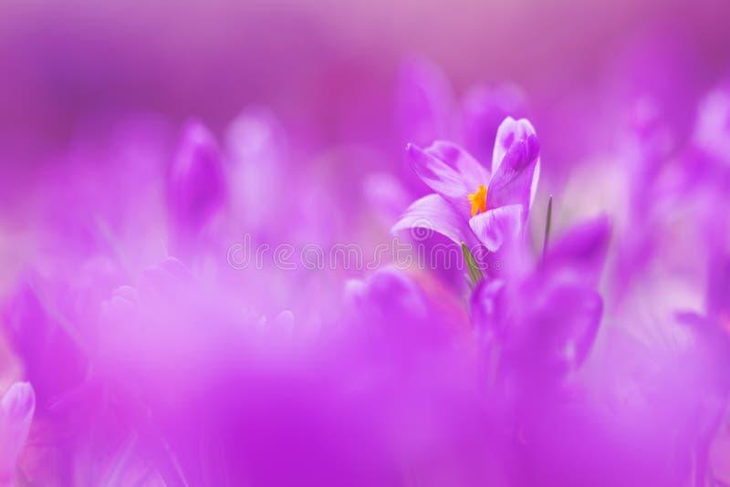 La vista della molla di fioritura viola magica fiorisce il croco che cresce nella fauna selvatica Bella macro foto di croco wildg fotografie stock libere da diritti