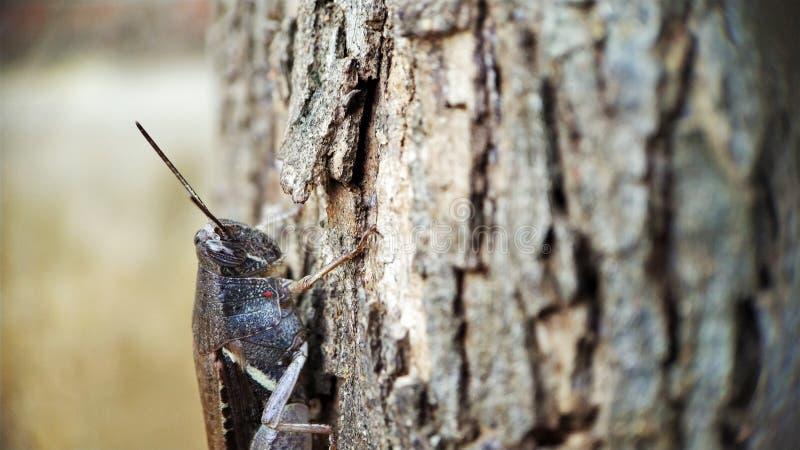 La vista della testa della locusta di Brown scuro che si siede su un albero ha messo a fuoco bene la macro destra sparata immagini stock libere da diritti