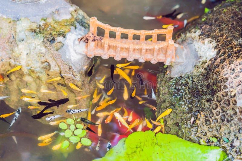 La vista dello stagno cinese del giardino con il koi multicoloured della carpa pesca immagine stock