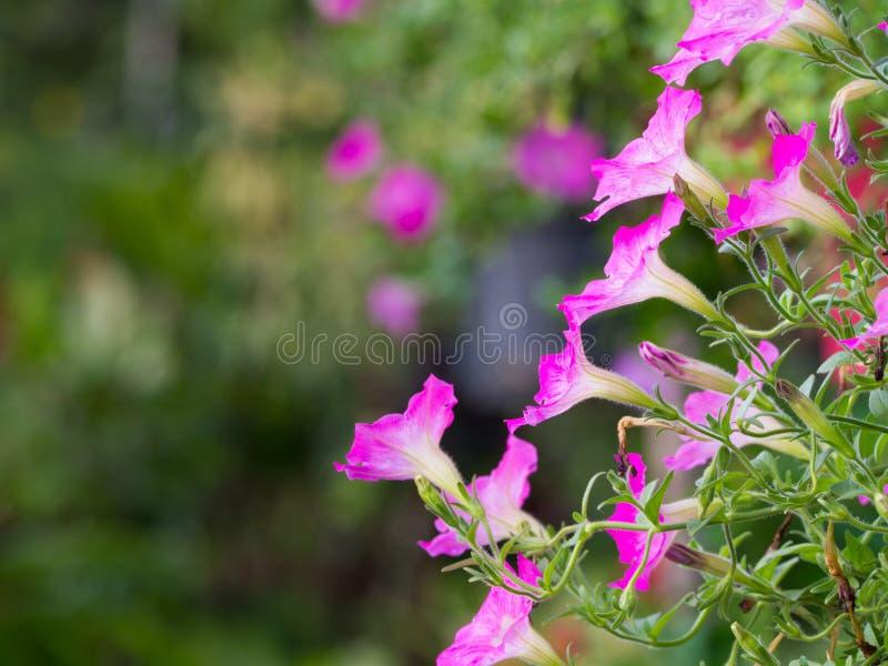 La vista lateral de la petunia rosada florece la ejecución foto de archivo