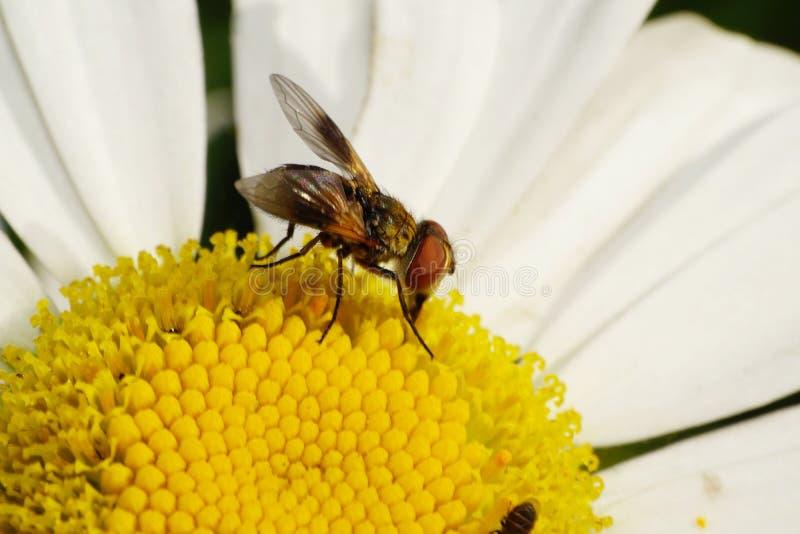 La vista lateral del primer de la flor rayada caucásica vuela está con el SP foto de archivo