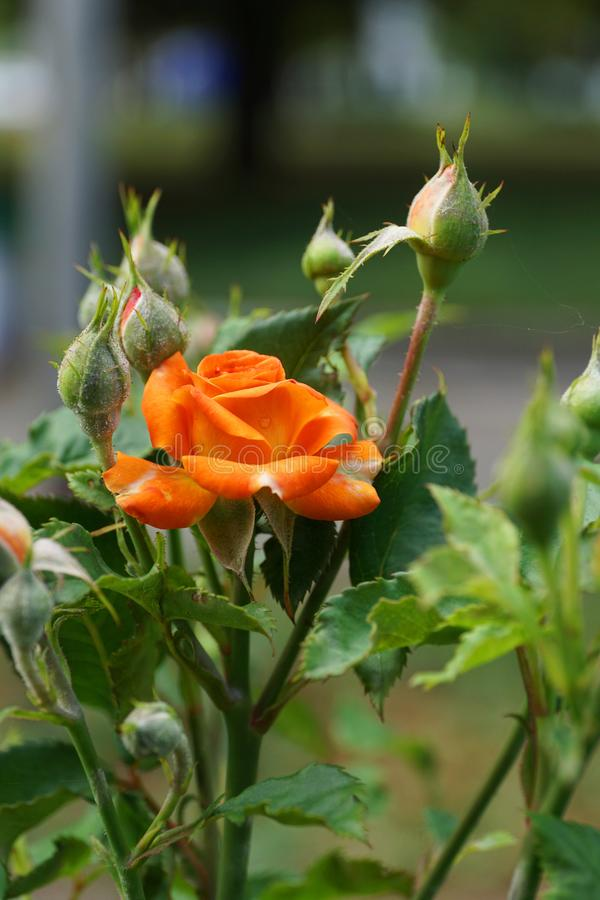 La vista lateral del primer de una naranja brillante caucásica subió con los brotes foto de archivo