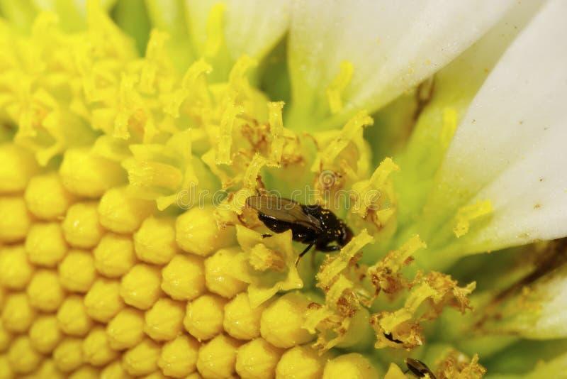 La vista lateral del primer del las pequeñas moscas caucásicas es pistilos de la flor foto de archivo libre de regalías