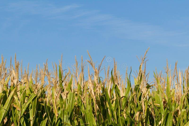 La vista laterale del campo di grano che mostra il cereale insegue con le nappe fotografie stock