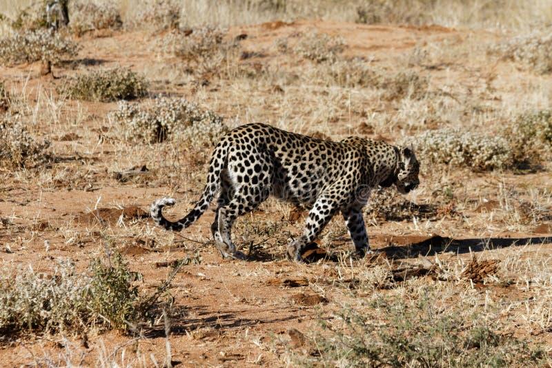 La vista laterale del leopardo africano che vagano in cerca di preda attraverso la terra arancio e l'erba asciutta nel primo matt fotografia stock libera da diritti