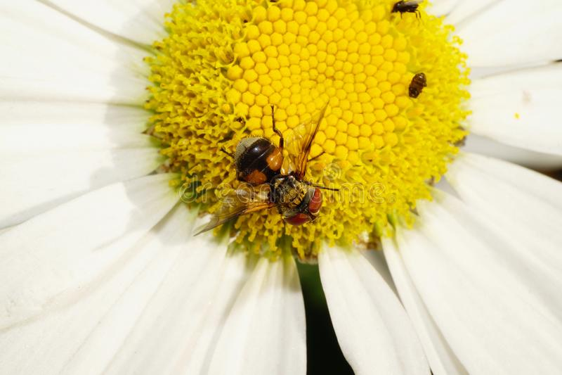 La vista macra del top de la flor rayada caucásica vuela está en a imágenes de archivo libres de regalías