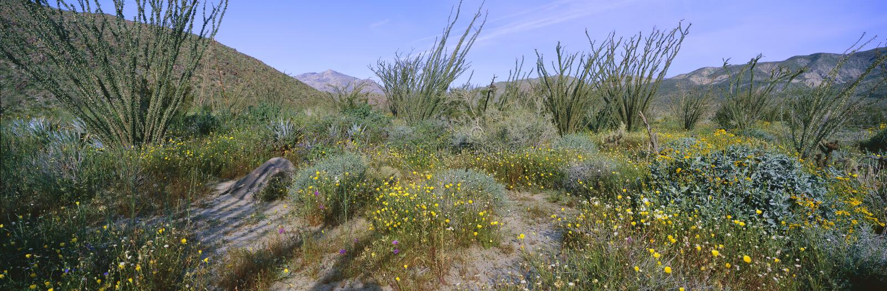 La vista panoramica del deserto Lillies, il Ocotillo ed i fiori nei giacimenti di primavera del canyon del coyote in Anza-Borrego fotografie stock libere da diritti