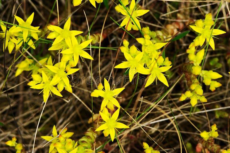 La vista sopraelevata dell'acro giallo di Sedum fiorisce, conosciuto comunemente come il sedo dei goldmoss immagine stock libera da diritti