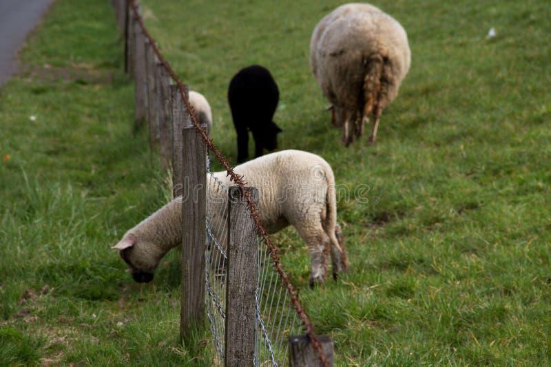 La vista su un'erba foraggera delle pecore bianche da dietro recinta il emsland Germania del rhede SME fotografia stock