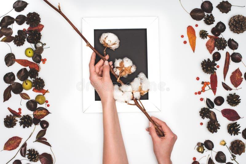 la vista superior de las manos humanas que sostienen algodón florece arriba foto de archivo libre de regalías