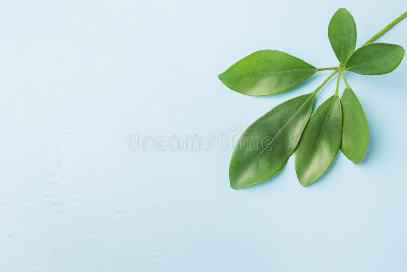 La vista superiore della natura delle foglie, mette su pianamente il fondo blu fotografie stock libere da diritti