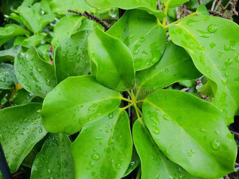 La vista superiore delle gocce con il ramo e le foglie sminuiscono l'ombrello o l'albero del polipo come fondo fotografia stock libera da diritti