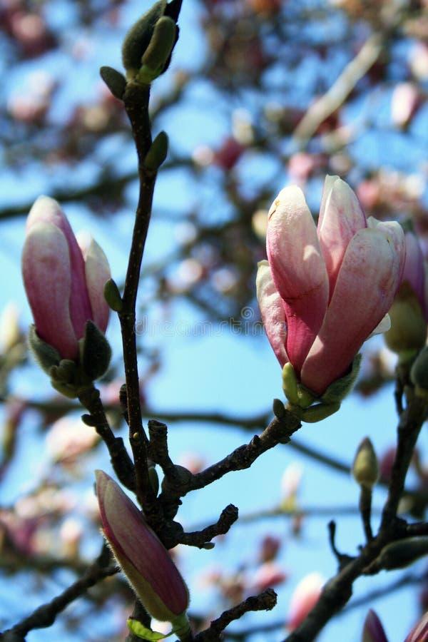 La vista verticale di un albero della magnolia di piattino sboccia con cielo blu fotografie stock